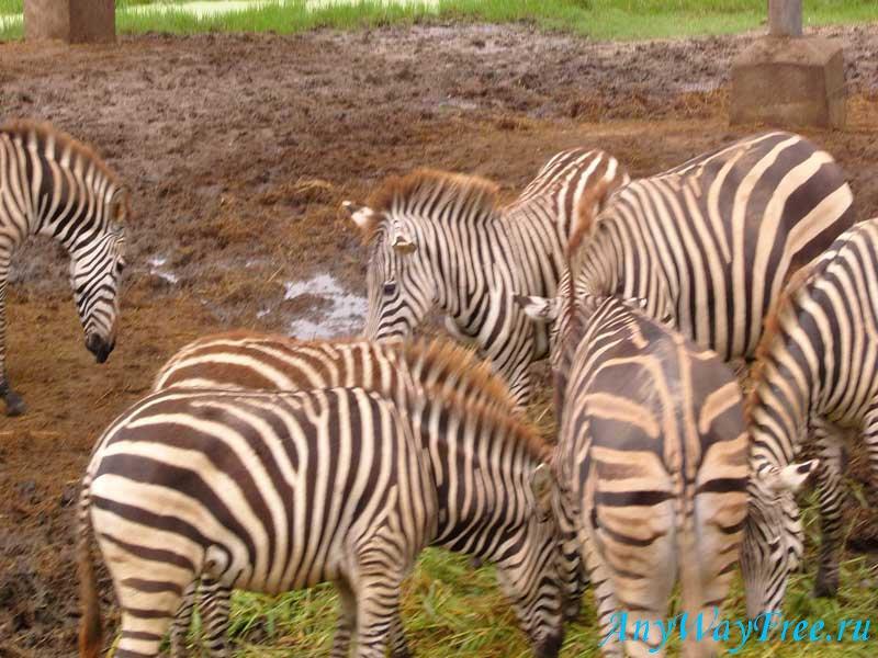 Зебра в Таиланде