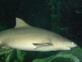 Акула в Австралии