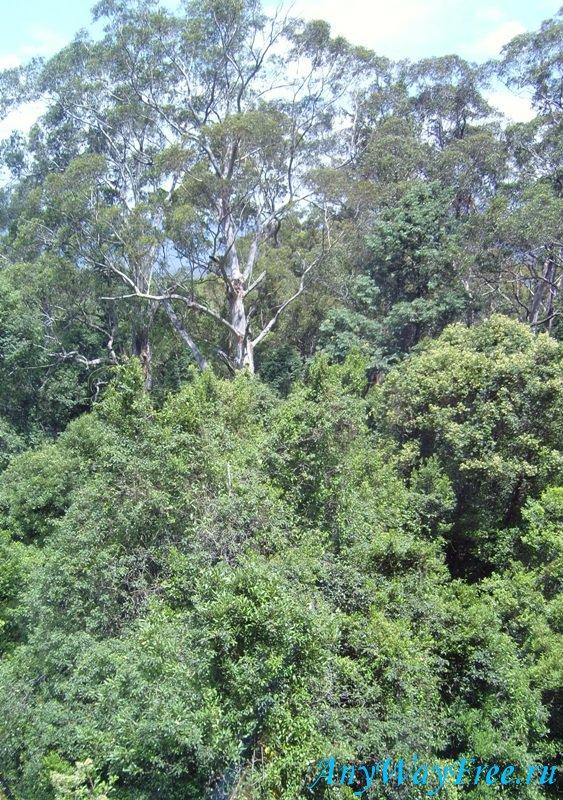 Деревья Австралии