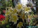 Лилия цветет