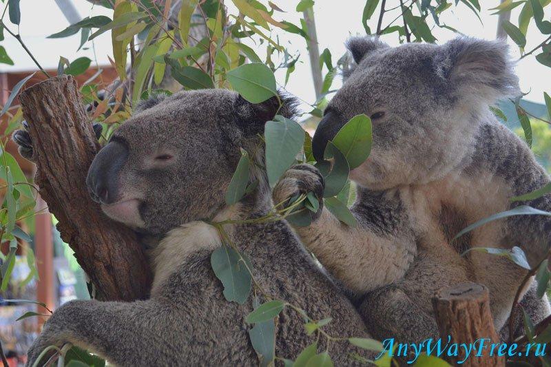 австралийские коалы