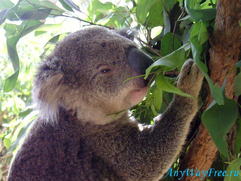 коала в Австралии