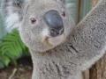 жизнь коалы