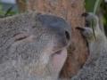 животные австралиии коалы