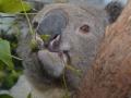 что едят коалы