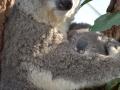коала сумчатая
