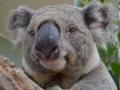 красивая коала