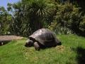 Черепаха в Зоопарке Окленда
