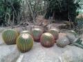 Кактусы - арбузы