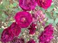 Необычные розы