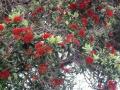 Австралия и цветы