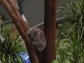 zoo-koala