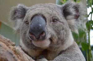 животное коала